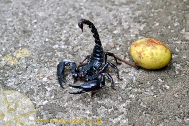 black-scorpion-thailand-krabi-foto